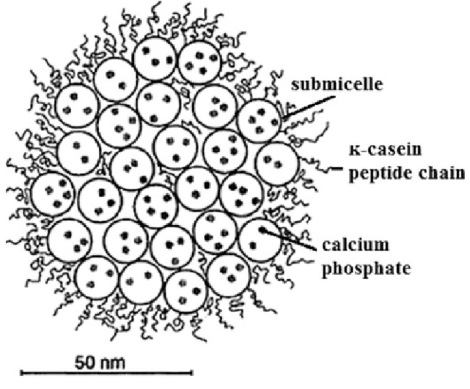 Schematic-model-of-casein-micelle-Adapted-from-81.jpg